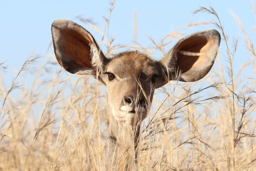 Animal with big ears
